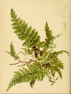 Killarney Fern and Moss botanical print