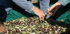 Men at work, our olives are hand harvest