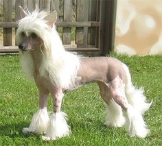Chinese Crested Hairless Dog