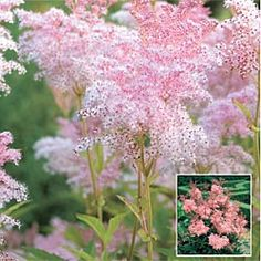 Queen of the Prairie  Two-toned pink blooms from mid to late summer. Naturalizes easily in meadows, woodlands, stream sides and other moist areas.   Light: Sun to Partial Shade   Height: 4-5'  Bloom Time: Mid to Late Summer