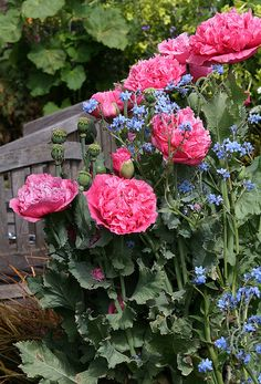 Papaver 'Pink Heirloom'- these are beautiful, I need to find me some.  It looks like they are a type of poppy by looking at the leaves.