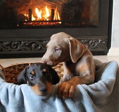 Fawn Doberman puppy loves his sibling!