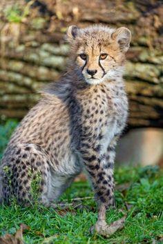 Baby Cheetahs, Cheetah Cubs, Wild Tiger, Ocelot, Cat 2, Leopards, Snow Leopard, Hare, Big Cats