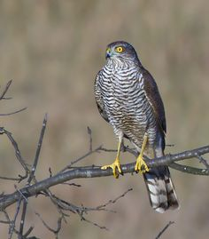 the northern sparrowhawk (accipiter nisus) is a small bird of prey. this is a widespread species throughout the temperate and subtropical parts of the old world, from emuwren.