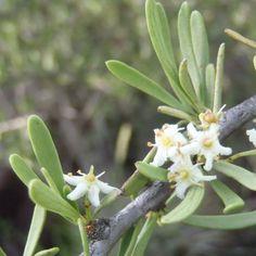 Maytenus Polyacantha                   Kraal/Hedge Spike-thorn            Kraalpendoring           4 m      S A no 401,2