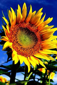 Sunflower!!
