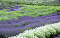 Lavender growing in the fields...