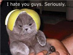 lolpics Hater cat