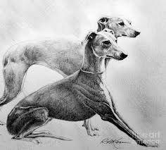 sketch of greyhounds