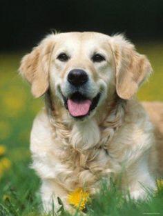Caracteristicas Generales del Golden Retriever http://www.mascotadomestica.com/adriestramiento-perros/caracteristicas-generales-del-golden-retriever.html