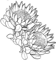 Protea Flower Drawing Sketch Coloring Page Flor Protea, Protea Art, Protea Flower, Art Drawings Sketches, Tattoo Drawings, Botanical Art, Botanical Illustration, Plant Drawing, Drawing Flowers