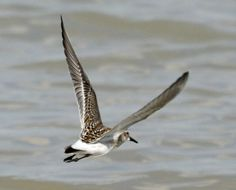 White-rumped Sandpiper (Calidris fuscicollis) is a small shorebird.