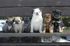 Pugs of a different color