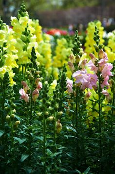 dragon flowers / snapdragons. Stop by the Garden Trug and pick up your Snapdragons!