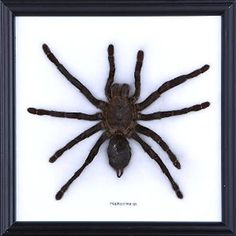 Malaysian Bird-Eating Tarantula, Haplopelma sp. | Taxidermy, Mounted Under Glass: Malaysian Bird-Eating Tarantula, Haplopelma sp. (cotton mounted). Beautifully mounted on cotton and displayed in a hand made frame with wall mount. The frame measures approximately 200 x 175 x 25mm https://redd.it/3pxomj