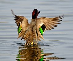 Anybody every wonder why they're called Green-Wing Teals? (Photo by The Internet)