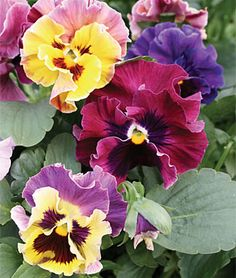 Pansy, Moulin Rouge - Straight from Italy, a breakthrough improvement over…