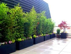 Roof Garden with Row of Potted Bamboo - modern - landscape - new york - Amber Freda Home & Garden Design