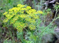 Ez a növény hatékonyabb a fokhagymánál! Csökkenti a vércukorszintet és a magas vérnyomást is! - Zöld Újság Herb Garden, Cottage Style, Natural, Herbalism, Health Fitness, Anna, Vegetable Garden, Plant, Flowers