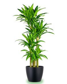 Large potted corn plant.