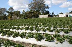 StrawBerry Farm @ Plamview