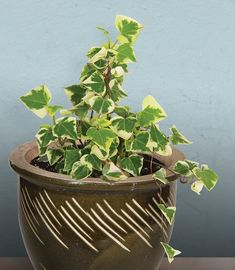 waxy ivy - Google Search Ivy Plants, Jade Plants, Best Indoor Plants, Indoor Garden, Balcony Garden, Ficus Pumila, Common House Plants, Arrowhead Plant, Vegetable Garden