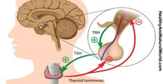 Thyroid gland overview: what to know about this endocrine-hormone powerhouse. - How this endocrine-realted thyroid gland functions, and what symptoms might be a clue for hyperthyroidism and hypothyroidism Thyroid Nodules, Thyroid Symptoms, Pituitary Gland, Underactive Thyroid, Thyroid Issues, Adrenal Glands, Thyroid Hormone, Thyroid Disease, Thyroid Problems