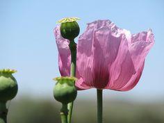 Flor y cápsula de adormidera