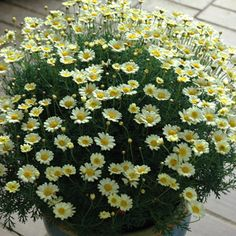 Argyranthemum frutescens Part of the Federation Daisy range, Surf City is a repeat flowering, highly disease resistant new generation of Daisy. Pastel Yellow, Yellow Flowers, Garden Express, Growing Strong, Drought Tolerant Plants, Surf City, Garden Beds, Perennials, Daisy