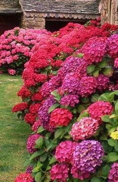 Did you know: Changing the Aluminium in the the Soil CHANGES the COLOR of Hydrangea