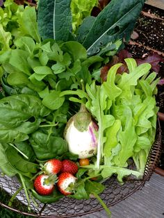 A harvest of strawberries, eggplant, lettuce, spinach, arugula and kale will do for a wonderful salad when Kenesha comes back from checking out my golf course area............I hope she doesn't get lost.