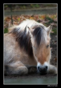 <3 miss the beautiful Norwegian Fjord horses!