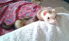 Meet Eager, our First April Ferret Winner of 2015. You can submit your own pet photo to us for our monthly photo contest. Your pet might be chosen next!