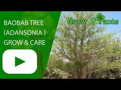 Baobab tree - Learn how to grow Baobab tree, plant information - climate, zone, uses, growth speed, water, light, planting & bloom