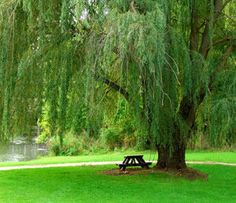 At Willis Orchard Company, we provide the top selection of Weeping Willow Trees at the lowest prices possible. Browse our great selection of Weeping Willow Trees here! Willow Tree Familie, Weeping Willow, Shade Trees, Plant Needs, Trees And Shrubs, Dream Garden, Belle Photo, Beautiful Places, Backyard
