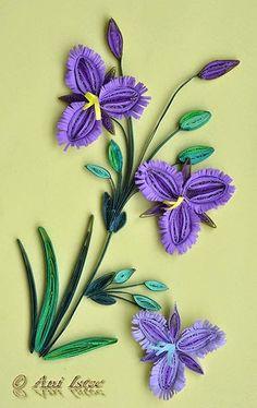 flowers - Thysanotus triandrus
