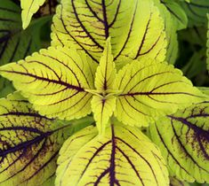 National Garden Bureau's Annual of the Year 2015: Coleus – 'Happy Line' Description: Bright chartreuse leaves with purple center line. Bought at Walmart 2019