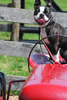 Dog on a tractor
