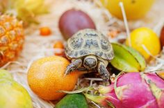small overland turtle on fresh exotic fruits