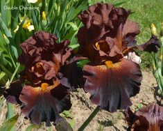 "Tall Bearded ""DOUBLE CHOCOLATE"" Iris"