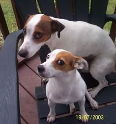 Jack Russell Terrier JRTCA Main Picture Gallery