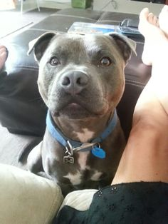 2.5 year old. Male english staffordshire bull terrier. Blue/Fawn . #bully #staffy #pedigree #love
