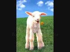 Baa Baa Black Sheep nursery rhyme video displaying words.  Wonderful photographs.