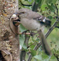 Mocking Bird with a Morsel Mocking Birds, Blue Jay, Arkansas, Mississippi, Boards, Kids, Animals, Planks, Young Children