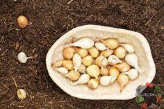 Как сажать лук под зиму – на какую глубину, сроки посадки, чтобы был крупный лук, обрезать или нет севок, агротехника, озимые сорта лука, температура на улице
