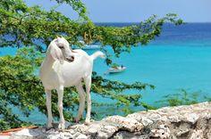 Goat at Boca Sami
