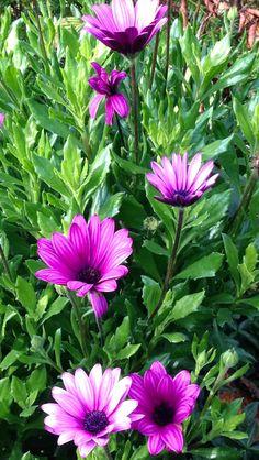T. 🌸 ....................... ........... ............. ........... .#çiçek#bahçe#doğa#ev##süs#dekor#flower#garden#