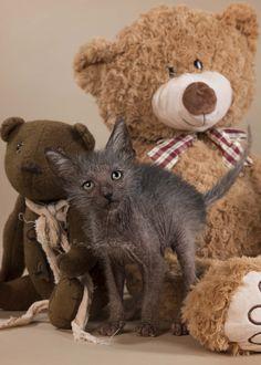 Lykoi Kitten 8