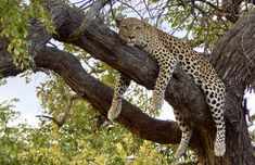 A leopard just hanging around, Botswana Victoria Falls, Safari, African, Animals, Animales, Animaux, Animais, Animal