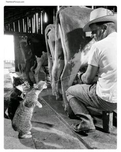 1950's Dairy kitties... they stand in line for their turn... frekin sweet!